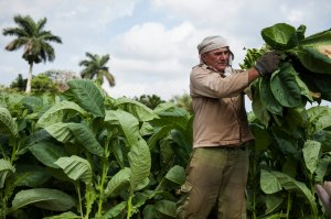 On February, 26th, 2013, Rene cut tobacco leafs from a tobacco plantation in Pinar Del Rio, Cuba. The tobacco leafs will be hung and dried in a shelter near the plantation and then used for making Cuban cigars at nearby farms of factories.