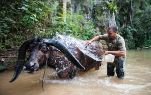 On February 26th, 2013, Javier bathed Thomas, the bull, in a nearby stream. The underground caves in Vignales, Cuba are a large tourist attraction where many people ride Thomas for a small fee.