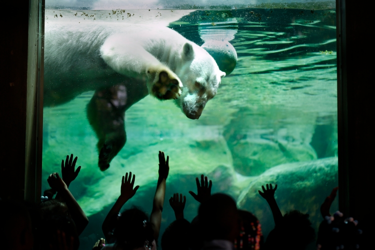 Baltimore, MD - 06/08/15 - Students of the KIPP Harmony Academy elementary school touch the glass barrier of the Polar Bear Watch exhibit featuring Anoki the Polar Bear at the Maryland Zoo in Baltimore, MD.